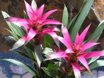 Guzmania Bromeliads Large