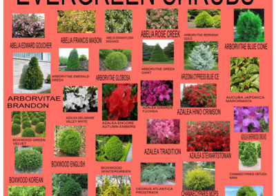 Evergreen-Shrubs-2019-1