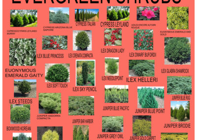 Evergreen-Shrubs-2019-2