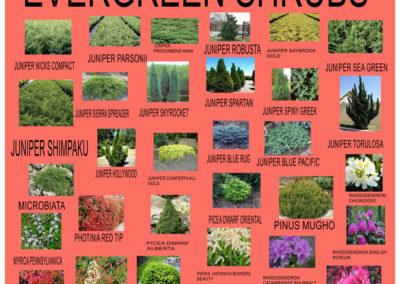 Evergreen-Shrubs-2019-3