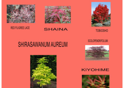 Japanese-Maples-2019-4
